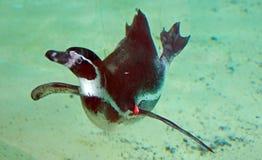 Natação do pinguim subaquática Fotos de Stock
