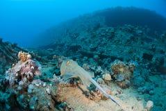 Natação do stingray de Bluespotted para um shipwreck. Fotos de Stock Royalty Free