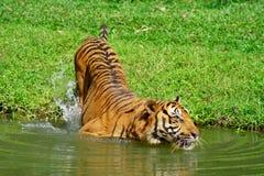 Natação do tigre foto de stock royalty free