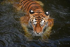 Natação do tigre de Amur do Siberian na água fotografia de stock royalty free