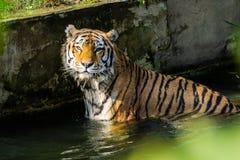 Natação do tigre em um rio imagens de stock royalty free