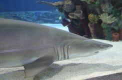 Natação do tubarão Imagem de Stock Royalty Free