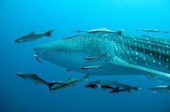 Natação do tubarão de baleia perto Imagens de Stock