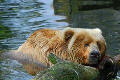 Natação do urso de Kodiak imagens de stock royalty free