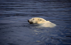 Natação do urso polar Fotografia de Stock Royalty Free