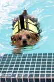 Natação do yorkshire terrier imagem de stock