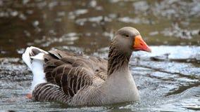 Natação doméstica do ganso na água cercada por ondinhas Foto de Stock Royalty Free