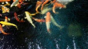 Natação dos peixes de Japão Koi Carps em Koi Pond video estoque