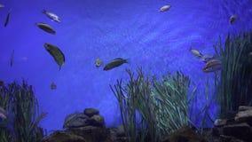 Natação dos peixes do animal de estimação no aquário vídeos de arquivo