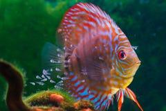 Natação dos peixes do disco do bebê em de água doce. foto de stock