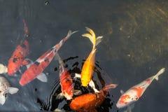 Natação dos peixes do koi do borrão na água Fotos de Stock Royalty Free