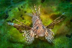 Natação dos peixes do leão no poo imagens de stock royalty free