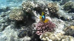 Natação dos peixes do palhaço nos recifes de corais Mar Vermelho Egypt filme