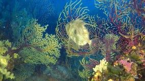 Natação dos peixes do ` s de Petr com gorgonian amarelo vídeos de arquivo