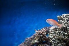 Natação dos peixes em um tanque de água salgada fotografia de stock royalty free
