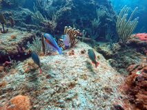 Natação dos peixes entre o coral fora da praia da palombeta fotos de stock