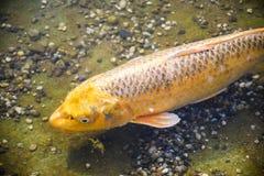 Natação dourada grande dos peixes de Koi sob a água pouco profunda no jardim de Japão imagem de stock royalty free