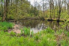 Natação euro-asiática do galeirão em uma lagoa natural Imagem de Stock
