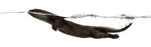 Natação europeia da lontra na superfície imagens de stock royalty free