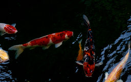 A natação extravagante da carpa ou dos peixes do koi na lagoa Imagem de Stock Royalty Free