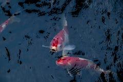 A natação extravagante da carpa ou dos peixes do koi na lagoa Foto de Stock