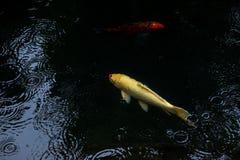 Natação extravagante da carpa ou dos peixes do koi na lagoa quando gota da chuva Imagens de Stock Royalty Free