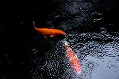Natação extravagante da carpa ou dos peixes do koi na lagoa quando gota da chuva Imagens de Stock