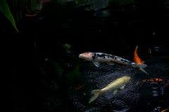 Natação extravagante da carpa ou dos peixes do koi na lagoa quando gota da chuva Fotos de Stock Royalty Free