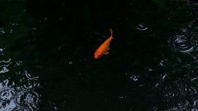 Natação extravagante da carpa ou dos peixes do koi na lagoa quando gota da chuva Imagem de Stock Royalty Free