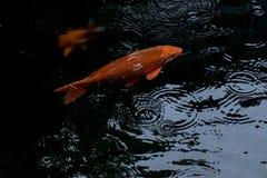 A natação extravagante da carpa ou dos peixes do koi na lagoa quando gota da chuva Imagem de Stock Royalty Free