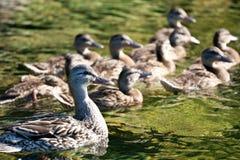 Natação fêmea do pato selvagem com sua família Fotos de Stock Royalty Free