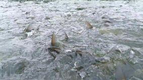Natação grande de muitos peixes das carpas na lagoa da exploração agrícola 4K, Slowmotion video estoque