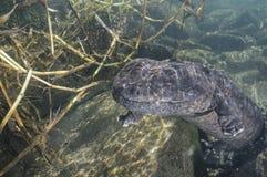 Natação japonesa da salamandra gigante no rio japonês imagem de stock