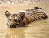 Natação juvenil do tigre de bengal, gato de Tailândia, Ásia Fotos de Stock