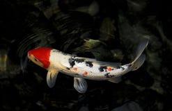 Natação Koi Fish Fotos de Stock Royalty Free