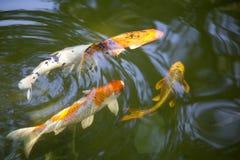 Natação Koi Fish Imagens de Stock