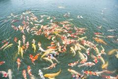 Natação Koi Fish Fotos de Stock