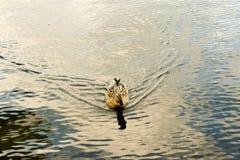 Natação marrom bonita selvagem do pato no lago em um dia de mola bonito foto de stock