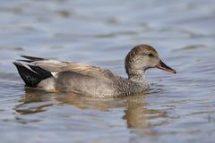 Natação masculina do pato cinzento do Norte da Europa em um lago - San Diego, Califórnia imagem de stock royalty free