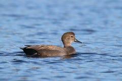 Natação masculina do pato do pato cinzento do Norte da Europa em um lago azul Fotos de Stock