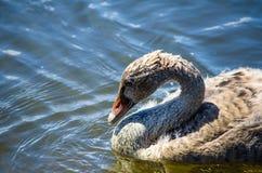 Natação na lagoa, a imagem do cisne novo da cisne preta do bebê no close-up com movimento, no parque de Sydney, Austrália fotos de stock royalty free