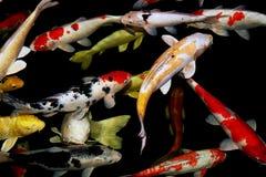 Natação na lagoa, vista aérea da carpa de Koi Fotos de Stock Royalty Free