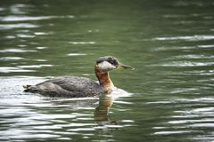 Natação necked vermelha do mergulhão no lago Imagem de Stock Royalty Free