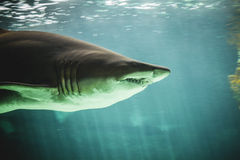 Natação perigosa e enorme do tubarão sob o mar Fotos de Stock