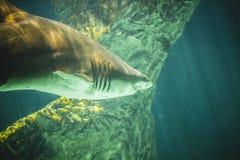 Natação perigosa e enorme do tubarão sob o mar Foto de Stock