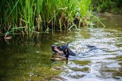 Natação preta de labrador retriever em um dia frio imagens de stock royalty free