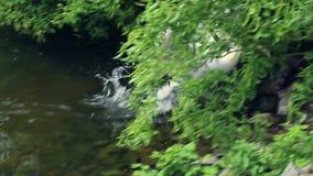 Natação rápida do pelicano branco à costa zoológico do lago do parque vídeos de arquivo