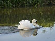 Natação responsável branca da cisne muda no rio Foto de Stock Royalty Free