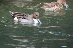Natação rodeado masculina de Teal Duck através de uma lagoa Imagens de Stock
