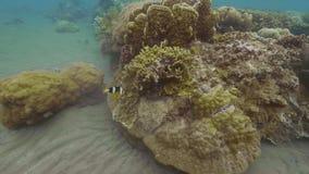 Natação tropical dos peixes perto do recife de corais na parte inferior de mar Peixes nadadores na opinião subaquática do oceano  filme